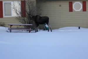 Moose Calf 3